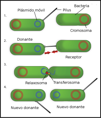 Bacterial_Conjugation_Spanish