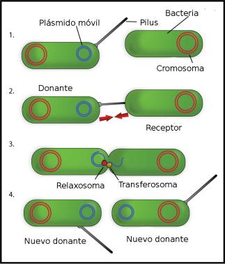 Bacterial_Conjugation_Spanish