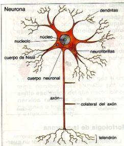 279px-Neurona